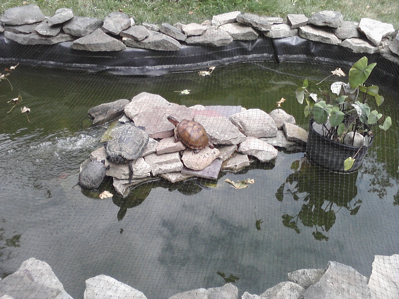Backyard turtle pond for Outdoor pond